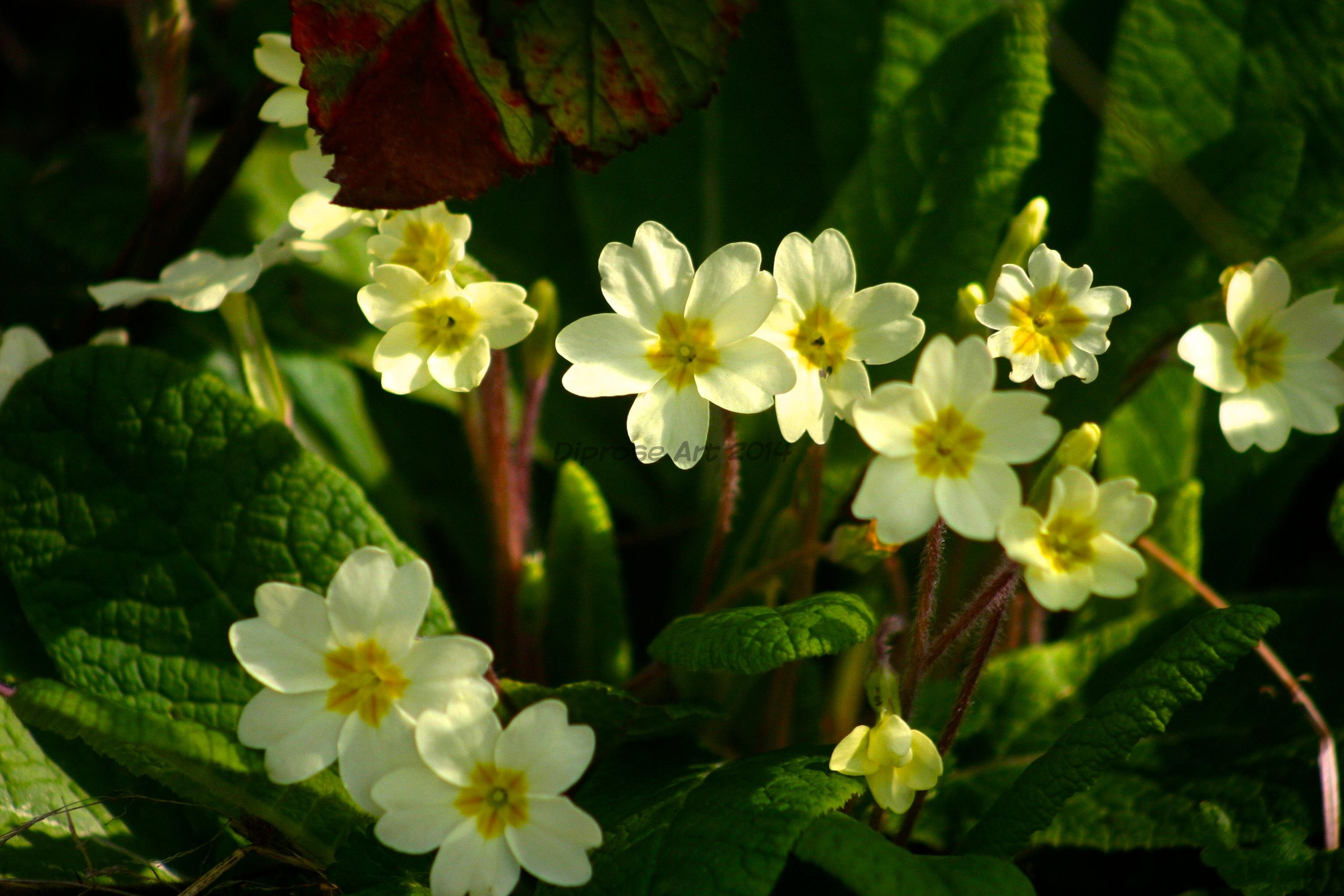 When I see the first wild primroses peeping through it makes me think that Spring is really on it's way